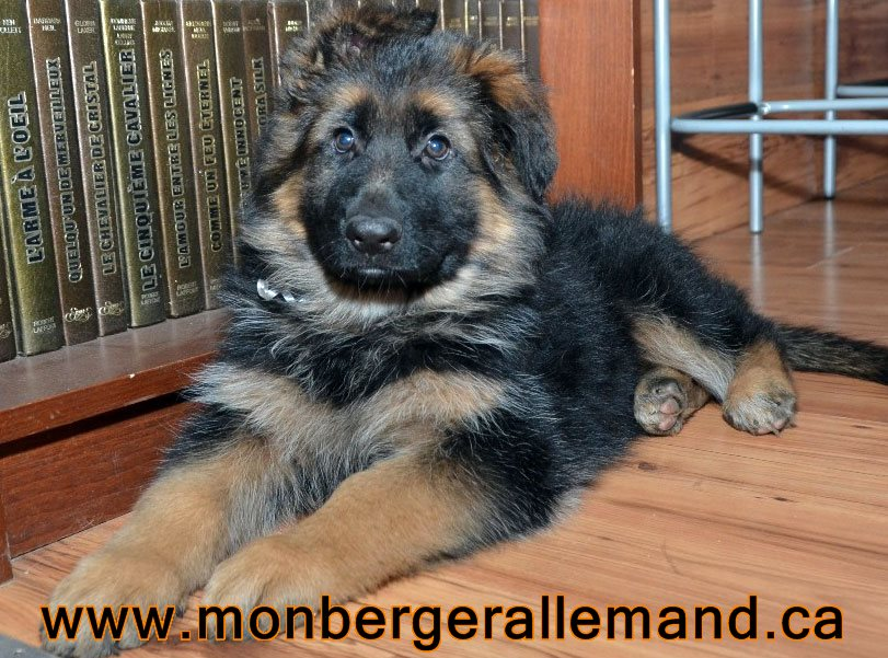 Chiots a Roxy automne 2013 - Berger allemand poils longs