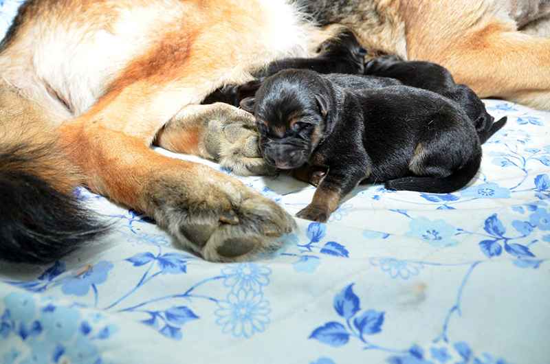 Chiots berger allemand a Roxy 2 jours
